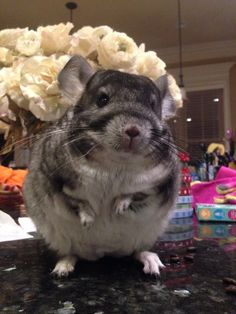 And a squishy chinchilla about to make a speech. | 22 Adorable Animals Just Being Really Friggin' Cute
