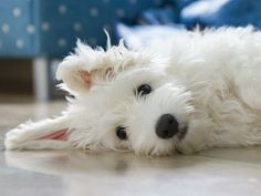 The Coton de Tulear is a charming, affectionate companion. With his cottony soft coat, expressive face, and loving nature, he melts the iciest of hearts.