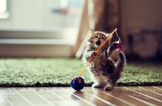 Kitten Playing With Toy funny cute animals cat cats adorable animal kittens pets lol kitten humor funny animals Cute Kittens, Cute Little Kittens, Kittens Playing, Cats And Kittens, Persian Kittens, Baby Animals Pictures, Funny Animals, Cute Animals, Funny Kittens