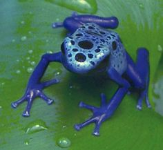 TREE FROGS | the secretions of a tiny one inch tree frog from the depths of a south ...