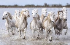 The real-life unicorns: Magical shots of wild white horses racing through French marshes at Camargue Horse Photos, Horse Pictures, Most Beautiful Animals, Beautiful Horses, Horse Galloping, Horse Posters, Horse Wall Art, Your Spirit Animal, Majestic Horse
