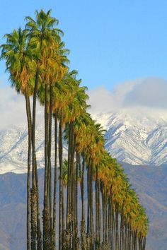 Palm Rows ~ Redlands has long been known for its many rows of palm trees that line the roads edging the many orange groves. Riverside California, California Living, California Love, Orange Grove, Great Places, Palm Trees, Scenery, Park, Photography