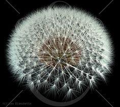 Dandelion Seeds, Black Background Fibonacci Pattern
