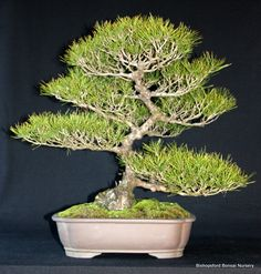 Biggest bonsai nursery in Western Cape, large selection of bonsai & related products, over 49 years of experience, bonsai courses, corporate gifts Bonsai Nursery, Stuff To Do, Things To Do, Corporate Gifts, Cape Town, Herbs, Things To Make, Promotional Giveaways, Herb