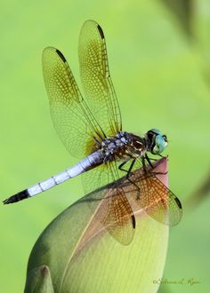 Blue Dasher Dragonfly Dancer by Sabrina Ryan on 500px