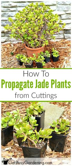 Jade plants can easily be propagated from stem or leaf cuttings. Here are step-by-step instructions for propagating jade plants.
