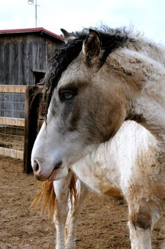 Lakota Song, curly stallion.  Photo by Karla LaRive Feb 2013