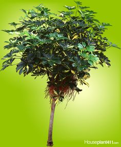 How to Grow a Hawaiian Schefflera Gold Cappella Air Layering, Bacterial Diseases, Plant Pests, Indoor Trees, Poisonous Plants, Yellow Leaves, Growing Plants, Plant Care, Houseplants
