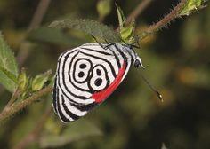 La Mariposa 88 (y en muy raras ocasiones 89)  Hay unas 165.000 especies de mariposas en el mundo.  De todas ellas ésta es una de las más fáciles de reconocer por el número 88 que aparece en sus alas.Se la conoce también por este motivo como mariposa 88.