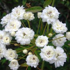 Rosa Banksiae Alba - he White Banksia Rose is a hardy, sprawling climber that grows quickly and robustly. The beautiful clusters of small, double white 'rose-like' flowers bloom in warmer months, covering the bush in yellow beauty. Ideal for specimen planting, climbing, colour contrast and as a feature. Train this evergreen to climb up a trellis, wall, fence or embankment to stunning effect. www.divineplantsonline.com.au