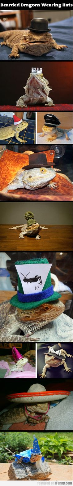 Bearded Dragons Wearing Hats - http://pinnit.appmyxer.com/pinnit-pics/bearded-dragons-wearing-hats/ -  Visit http://pinnit.appmyxer.com to read more on this topic