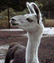 Joey is an adoptable Llama Llama in Bishopville, SC. Joey - Llama Gelding DoB: Est 2002 Joey is a black and white paint with one blue eye. He is currently guarding male alpacas along with buddy Mike, ...
