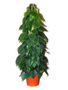 Como cultivar Filodendros, planta de interior  Veja mais em http://www.comofazer.org/outros/como-cultivar-filodendros-planta-de-interior/