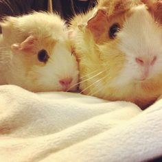 guinea pigs are seriously the cutest