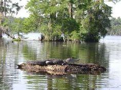 Louisiana Swamp Tours: Louisiana Swamp Tour Alligators!~ we feed the Alligators marshmallows