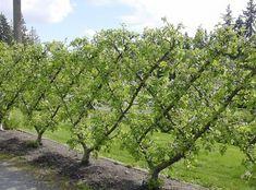 Fruit Trees | King Garden Designs