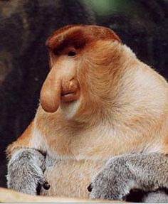 """The proboscis monkey (Nasalis larvatus) or long-nosed monkey, known as the bekantan in Malay, is a reddish-brown arboreal Old World monkey that is endemic to the south-east Asian island of Borneo. The monkey also goes by the Malay name monyet belanda (""""Dutch monkey""""), or even orang belanda (""""Dutchman""""), as Indonesians remarked that the Dutch colonisers often had similarly large bellies and noses."""