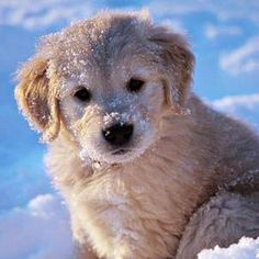 snowflake peaceful carefree perfumes perfume vibrant cologne angel light scent smell snow upli Snow Angel Light Perfume Snowflake Scent Peaceful Smell Vibrant Cologne Carefree Perfumes UplYou can find Golden retriever puppies and more on our website Cute Puppies, Dogs And Puppies, Cute Dogs, Havanese Puppies, Puppy Goldendoodle, Funny Dogs, Awesome Dogs, Poodle Puppies, Puppies Tips
