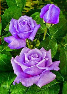 Lila roses
