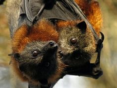 Stop the Shooting and Forced Relocation of Flying-Foxes in Queensland. http://www.communityrun.org/petitions/stop-the-shooting-and-relocation-of-flying-fox-colonies-in-queensland #SeaShepherd #defendconserveprotect