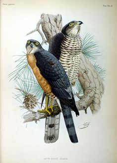 Sparrowhawks, from Fauna Japonica, Illustrations of the birds observed in Japan by Dutch travelers, Philipp Franz von Siebold, 1842.