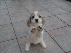 It's a big patio and I'm so very tired and I love you so much...up please? Adorable Cocker Spaniel pup.