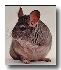 Purchasing A Chinchilla Things to Consider When Buying an Exotic Pet.