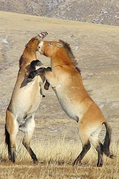 Przewalski's horse--WILD horses (NOT feral horses--once domesticated and then gone wild)