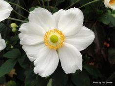 Japanese anemone (Anemone × hybrida 'Honorine Jobert')