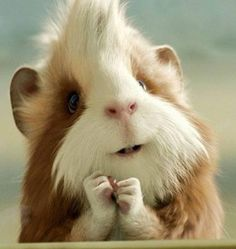 guinea pig. Don't know whyyy this is sooo hilariously amusing to me