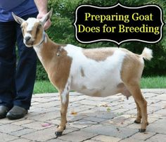 Some of the top things to consider when preparing dairy goat does for breeding - it's the first step in getting milk!