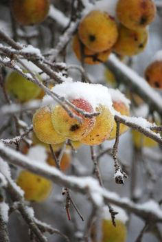 ~Autumn~  Impossibly bright yellow on snow covered branches . . .
