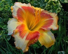 Daylily, Hemerocallis 'All Fired Up' (??) (Stamile, 1996)