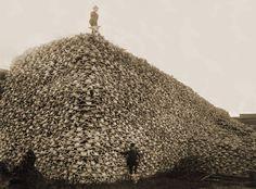 American Bison skulls awaiting shipment