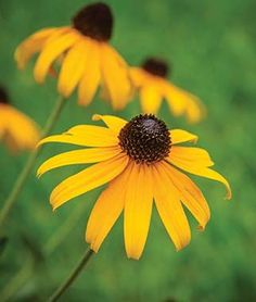 Rudbeckia, Pot of Gold.Large gold flowers on container-friendly plants. Flowers Perennials, Flower Pots, Plants, Container Plants, Pot Of Gold, Native Plants, Perennials, Flowers, Large Flowers