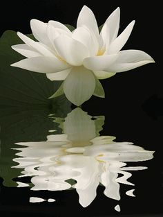 Lotus reflection
