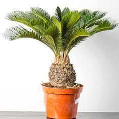 Sago palm care is easy. The king sago palm tree [Potting Soil Cycad Revoluta] a popular landscape and houseplant not actually a palm but a cycad. Mini Palm Tree, Small Palm Trees, Small Palms, Sago Palm Care, Plants Toxic To Dogs, Tropical House Plants, Palm Plants, Pot Plante, Poisonous Plants