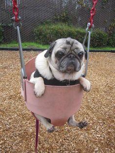 Pugs love to swing ...