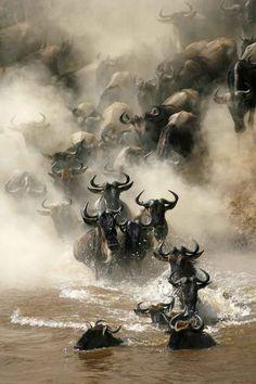 Wildebeest . The Serengeti, Tanzania