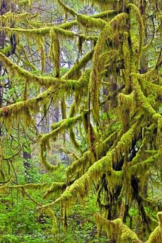 Yay - I've enjoyed these growths in person while lightly hiking through the Seward, AK rainforest - March 31 2016 :)   Picture of Evergreen Rain Forest Moss Nature British Columbia