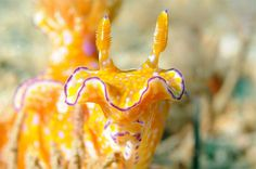 #YellowNudibranch
