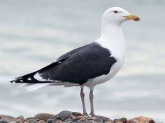 Bombay Hook, DE on 01-23-21 Herring Gull, List Of Birds, Big Yellow, Black Wings, North And South America, Dark Grey Color, Bird Tree, Back To Black, Farm Life