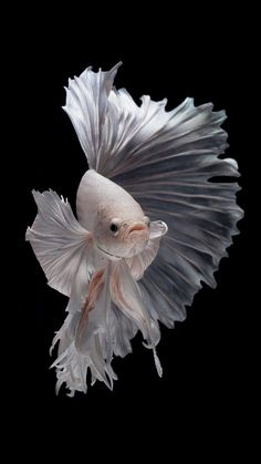 free wallpaper for iphone 7 - Albino Betta Fish Picture can find Betta fish and more on our website.free wallpaper for iphone 7 - Albino Betta Fish Picture Fish Wallpaper Iphone, Tier Wallpaper, Iphone 7 Wallpapers, Animal Wallpaper, Iphone Pics, Wallpaper Pictures, Wallpaper Wallpapers, Pretty Fish, Beautiful Fish