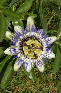 Passiflora caerulea, blue passion flower