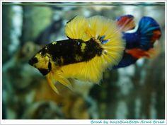Live Art, Siamese Fighting Fish, Aquarium Ideas, Art Of Living, Betta Fish, Photo Displays, Koi, Collections, Animals