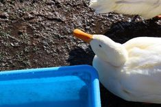 Game of duck #srbija #serbia #village #duck #animal #nature 11