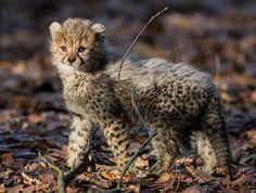 Netherlands  Burgers Zoo, 6 Cheetahs born September 2016.