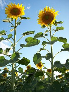 Tall Sunflowers perfect for alter decore!