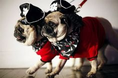 Pirate pugs... Arrrrrr, matey! I'm totally dressing up Brody as a pirate this year.