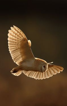 You don't realize how silent and graceful these are until one flies over your head. Stunning birds.    [perfect] Barn Owl by nigel pye, via Flickr